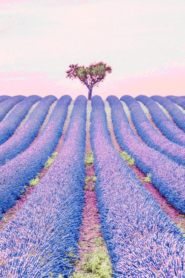 Fairytale Places that Really Exist like these beautiful lavender fields in France! This popular tourist attraction will not disappoint you on your vacation in Europe! Click to avenlylane.com to see 15 of the most beautiful fairytale travel destinations in the world! #wanderlust #france #traveltips #europe #bucketlist #travel #villages #travelmore #castles #traveling #palace #roadtrip #avenlylane #avenlylanetravel